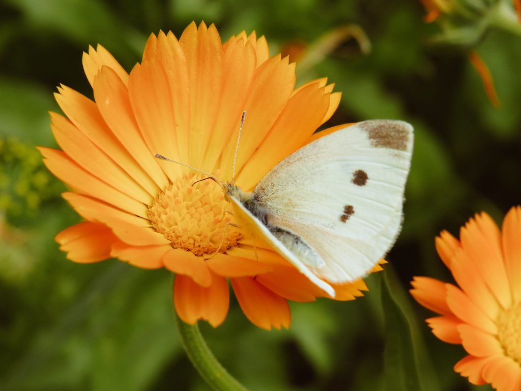 An orange Calendula flower with a white butterfly perched on it